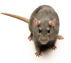 tikus Adakah Tikus Itu Jin?