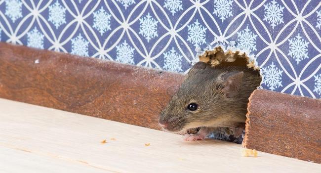 10 cara menghalau tikus dengan cepat