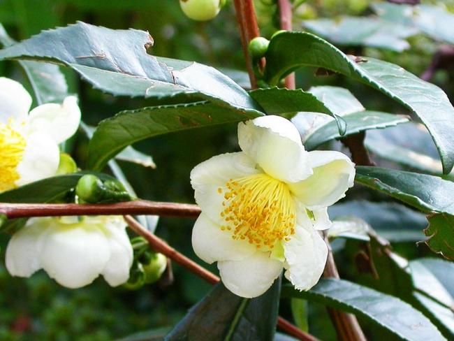 bunga teh hijau dalam rawatan kecantikan kulit muka