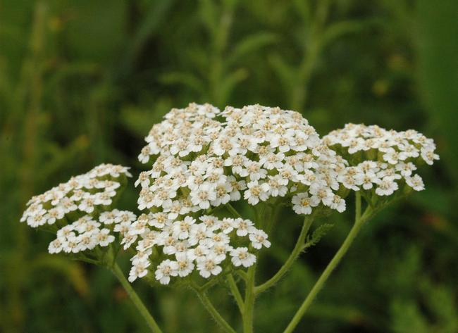 bunga yarrow