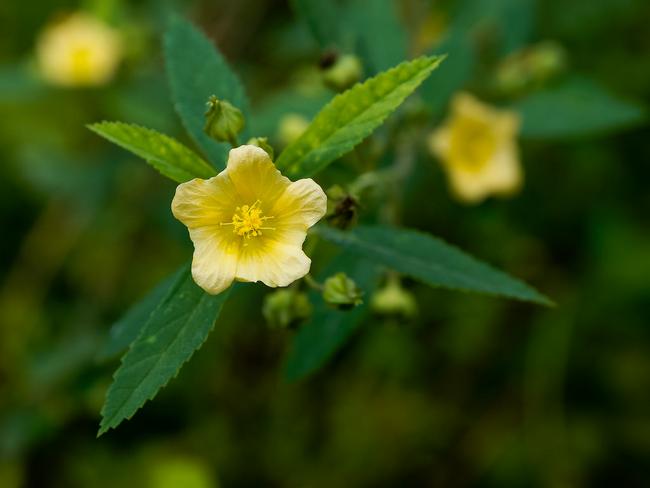 daun sidaguri dapat menghilangkan masalah jerawat muka