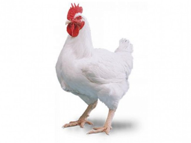 Ayam Ayam Kampung Sejuk Frozen
