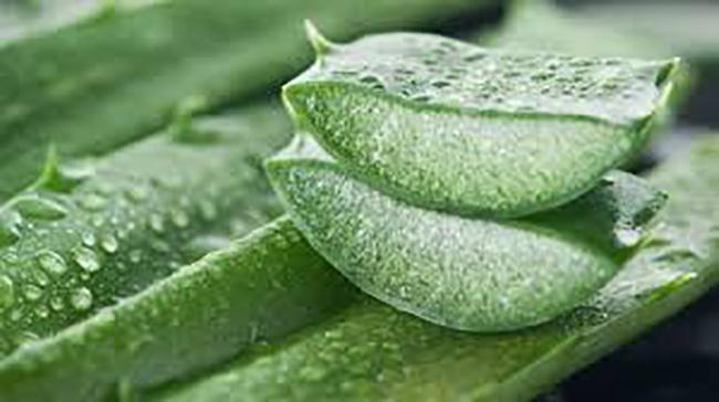 aloe vera ramuan dalam hebakboh untuk lelaki lemah tenaga batin