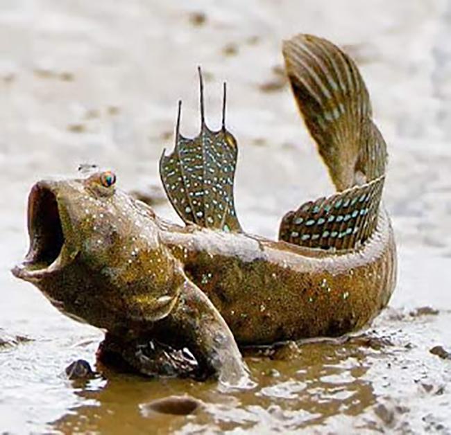 pati ikan belacak ramuan dalam hebakboh untuk lelaki lemah tenaga batin
