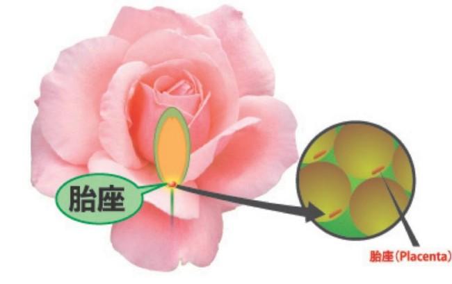 cara hilangkan kedutan dengan rose placenta serum