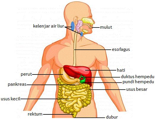 kepentingan air bersih terhadap kesihatan dalam proses pencernaan