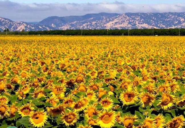lecitin bunga matahari dalam meeracle serum