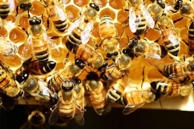 madu lebah dalam susu kambing r-rayyan tips menaikkan berat badan anak