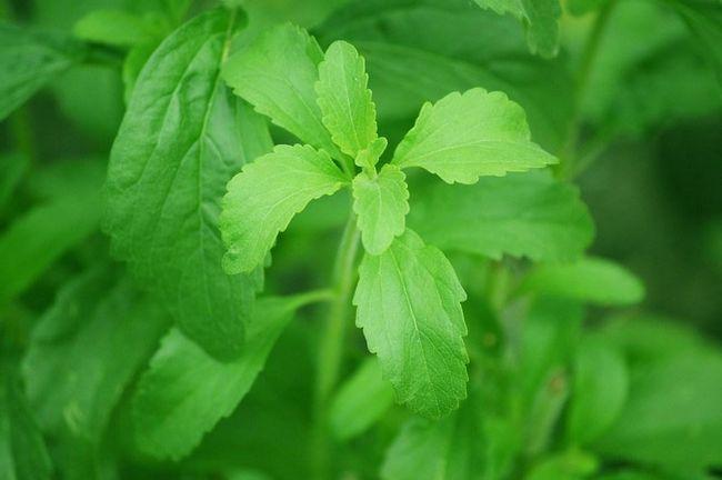 stevia dalam susu kambing r-rayyan tips menaikkan berat badan anak