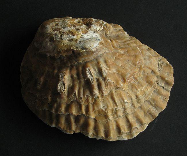 ostria shell untuk rawat rabun mata
