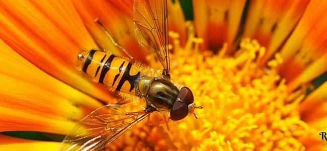 Madu Lebah Dan Aloe Vera Penawar Kepada Pelbagai Penyakit Kronik Lebah