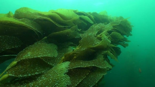 pacifi kelp besarkan payudara