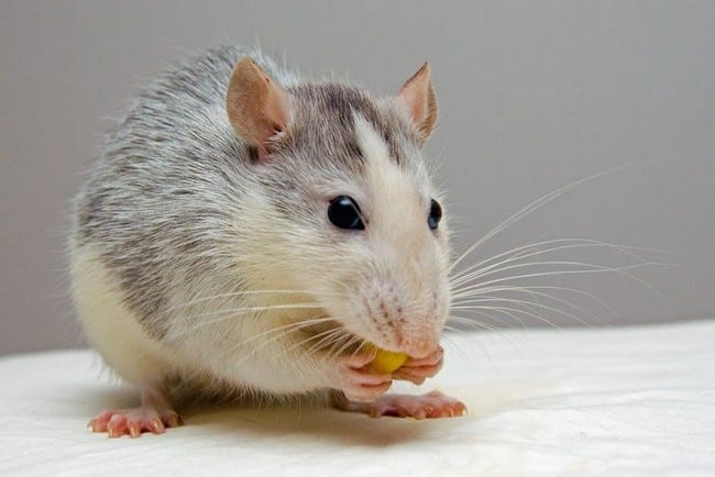 racun tikus victory murah