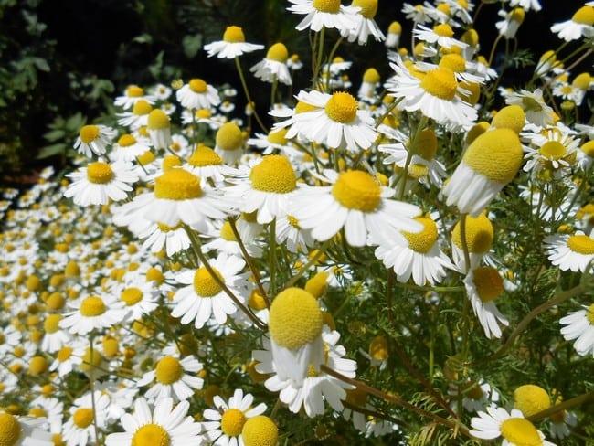 kulit muka kering dan kusam bunga chamomile