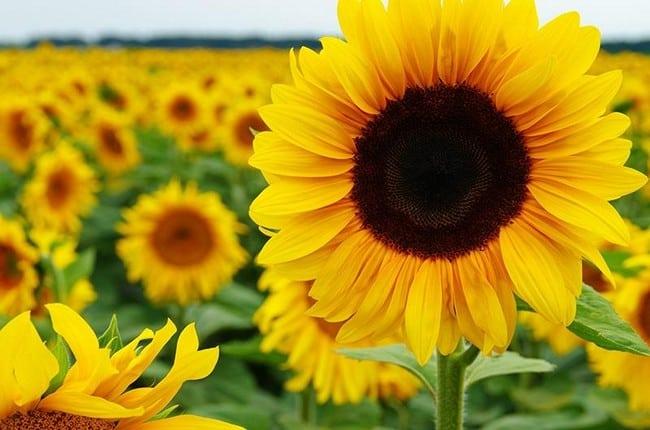 kulit muka kering dan kusam bunga matahari